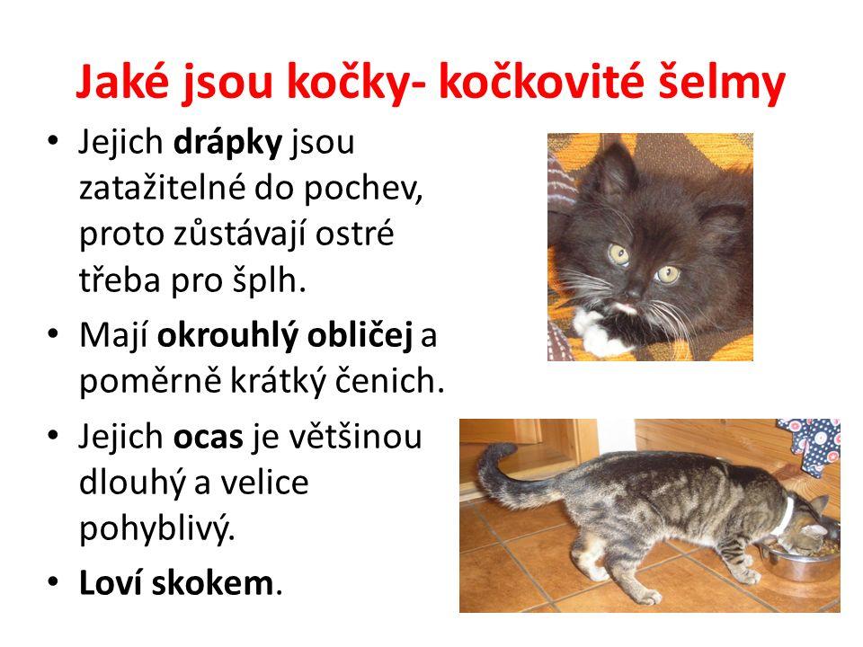 Jaké jsou kočky- kočkovité šelmy Jejich drápky jsou zatažitelné do pochev, proto zůstávají ostré třeba pro šplh.