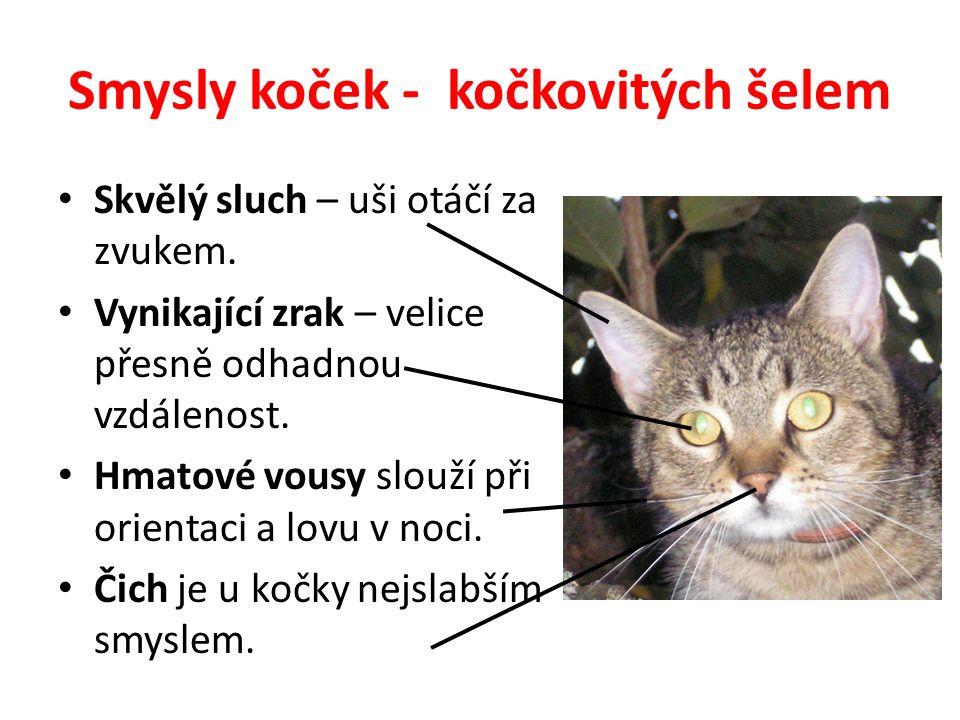 Smysly koček - kočkovitých šelem Skvělý sluch – uši otáčí za zvukem.