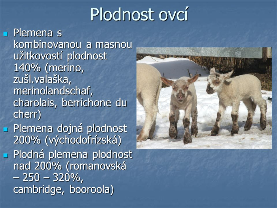 Plodnost ovcí Plemena s kombinovanou a masnou užitkovostí plodnost 140% (merino, zušl.valaška, merinolandschaf, charolais, berrichone du cherr) Plemen