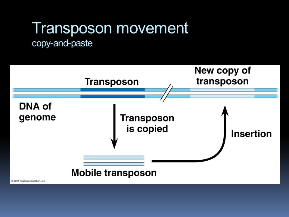 Transposon movement copy-and-paste