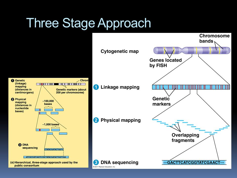 Whole-genom shotgun approach Celera Genomics