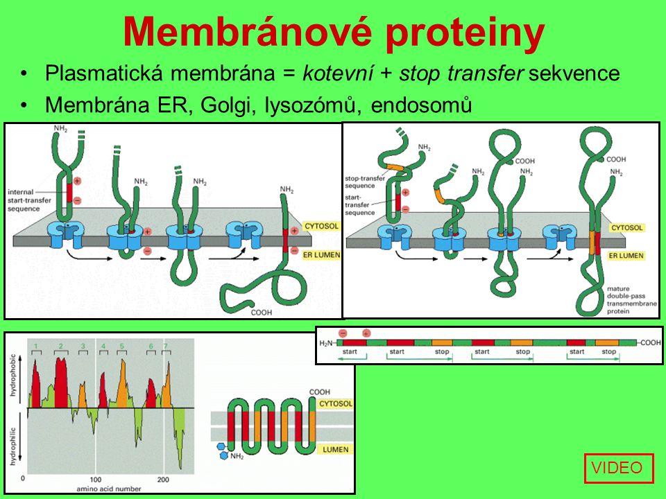 Membránové proteiny Plasmatická membrána = kotevní + stop transfer sekvence Membrána ER, Golgi, lysozómů, endosomů VIDEO