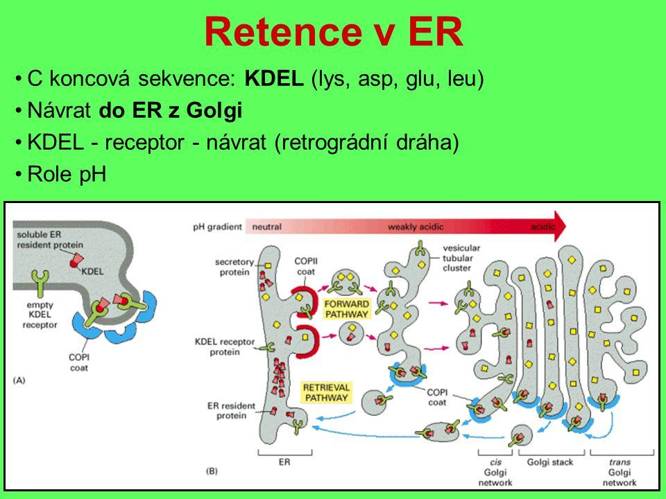 Retence v ER C koncová sekvence: KDEL (lys, asp, glu, leu) Návrat do ER z Golgi KDEL - receptor - návrat (retrográdní dráha) Role pH