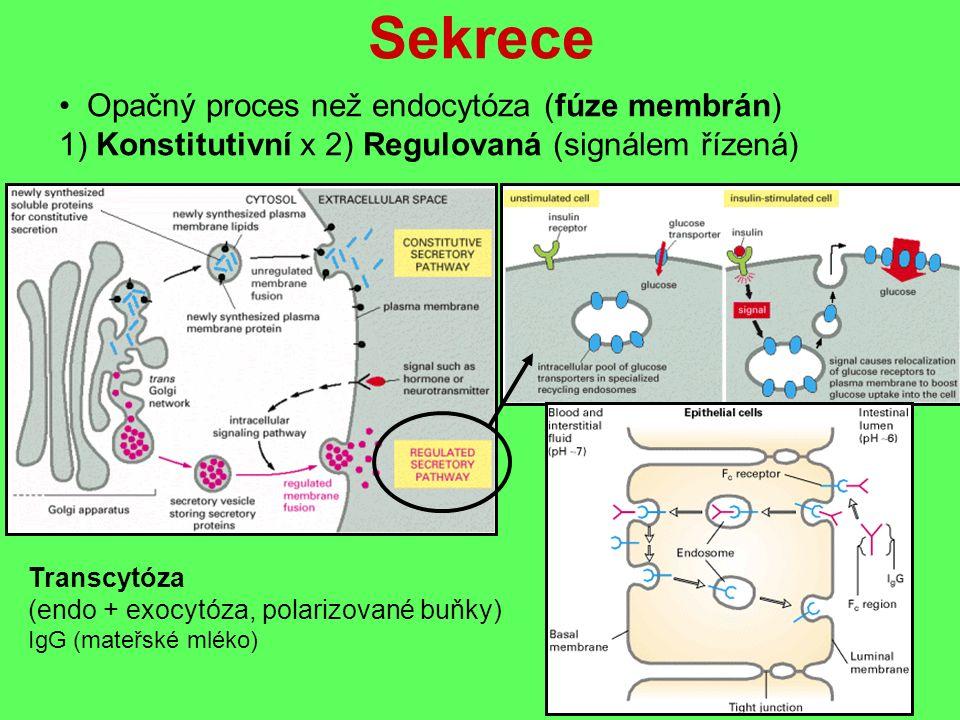 Sekrece Opačný proces než endocytóza (fúze membrán) 1) Konstitutivní x 2) Regulovaná (signálem řízená) Transcytóza (endo + exocytóza, polarizované buňky) IgG (mateřské mléko)