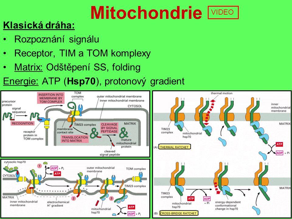 Mitochondrie Klasická dráha: Rozpoznání signálu Receptor, TIM a TOM komplexy Matrix: Odštěpení SS, folding Energie: ATP (Hsp70), protonový gradient VIDEO