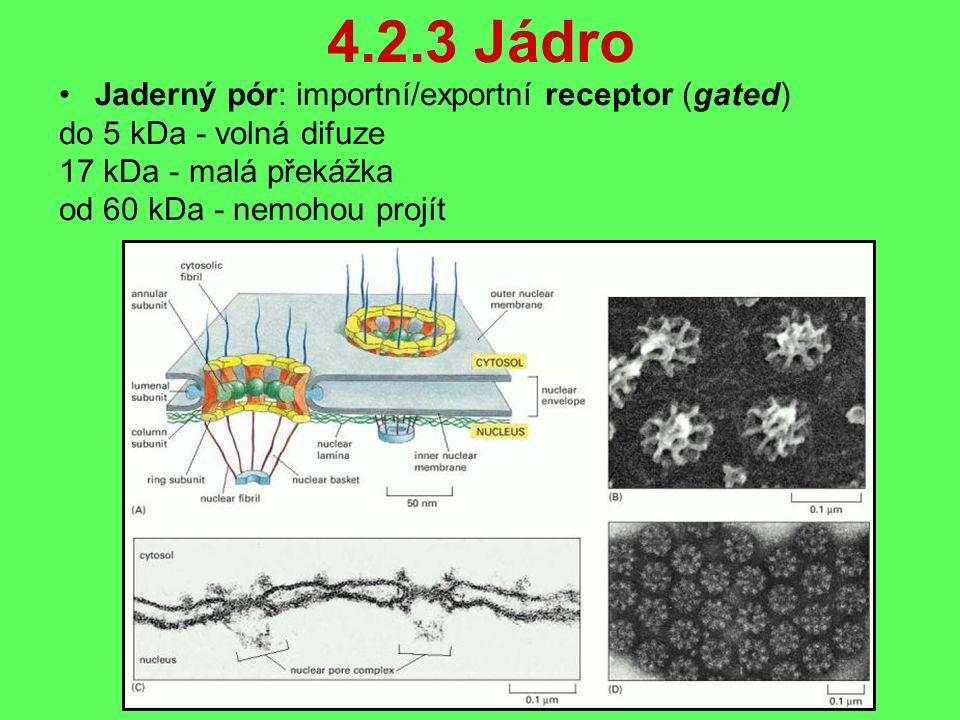 4.2.3 Jádro Jaderný pór: importní/exportní receptor (gated) do 5 kDa - volná difuze 17 kDa - malá překážka od 60 kDa - nemohou projít