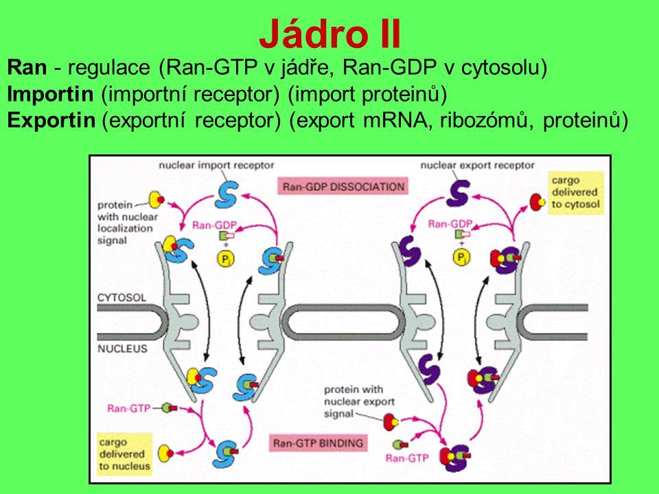 Jádro II Ran - regulace (Ran-GTP v jádře, Ran-GDP v cytosolu) Importin (importní receptor) (import proteinů) Exportin (exportní receptor) (export mRNA, ribozómů, proteinů)