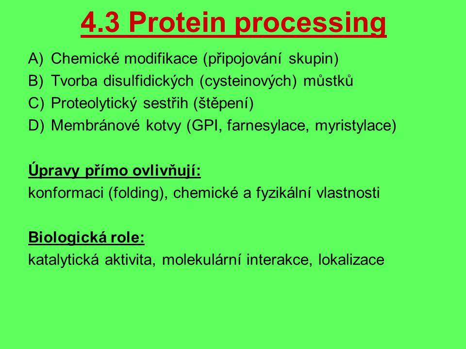 4.3 Protein processing A)Chemické modifikace (připojování skupin) B)Tvorba disulfidických (cysteinových) můstků C)Proteolytický sestřih (štěpení) D)Membránové kotvy (GPI, farnesylace, myristylace) Úpravy přímo ovlivňují: konformaci (folding), chemické a fyzikální vlastnosti Biologická role: katalytická aktivita, molekulární interakce, lokalizace