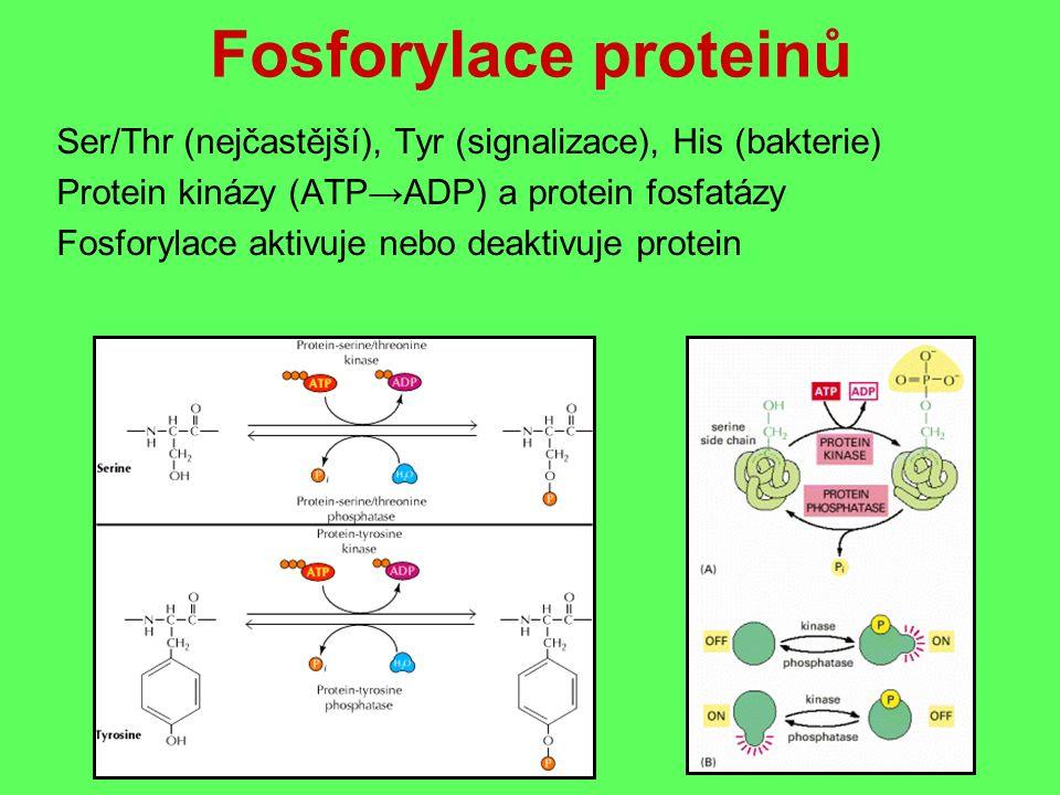 Fosforylace proteinů Ser/Thr (nejčastější), Tyr (signalizace), His (bakterie) Protein kinázy (ATP→ADP) a protein fosfatázy Fosforylace aktivuje nebo deaktivuje protein