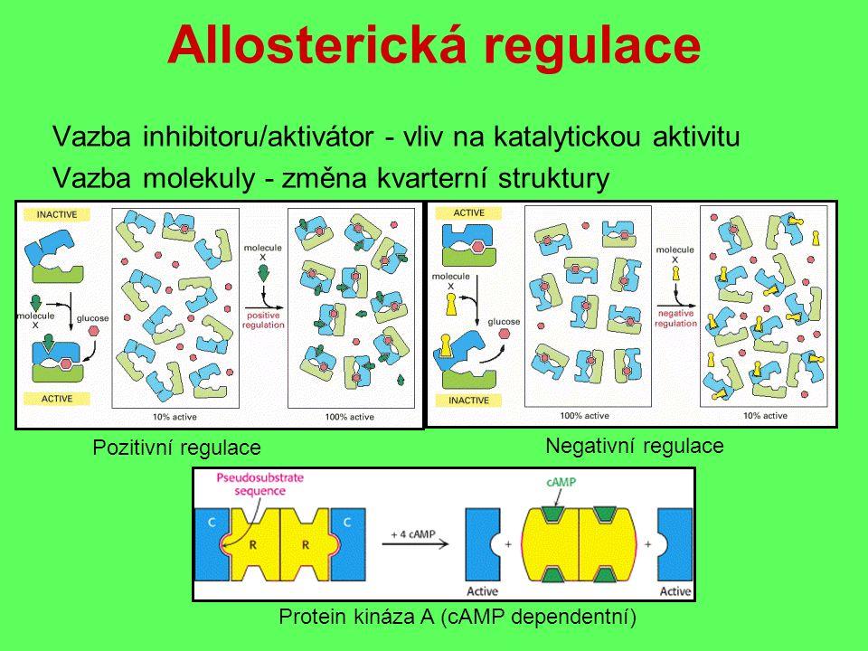 Allosterická regulace Vazba inhibitoru/aktivátor - vliv na katalytickou aktivitu Vazba molekuly - změna kvarterní struktury Pozitivní regulace Negativní regulace Protein kináza A (cAMP dependentní)
