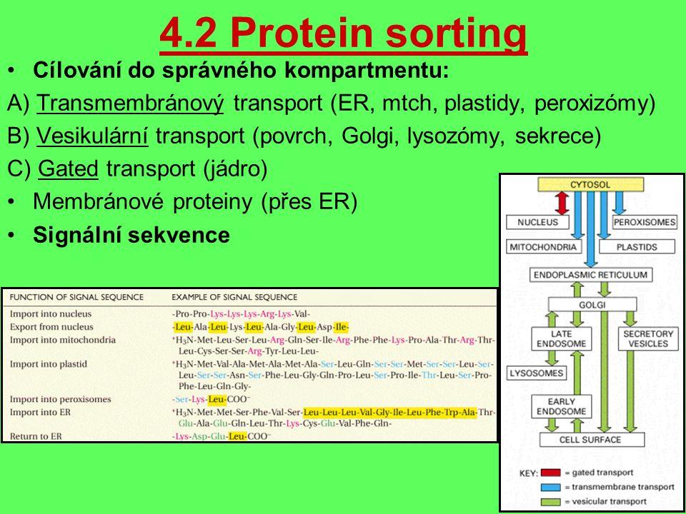 4.2 Protein sorting Cílování do správného kompartmentu: A) Transmembránový transport (ER, mtch, plastidy, peroxizómy) B) Vesikulární transport (povrch, Golgi, lysozómy, sekrece) C) Gated transport (jádro) Membránové proteiny (přes ER) Signální sekvence