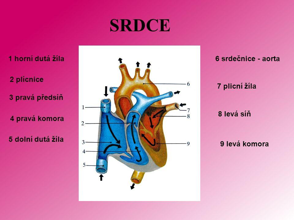 SRDCE 1 horní dutá žíla 2 plícnice 3 pravá předsíň 4 pravá komora 5 dolní dutá žíla 6 srdečnice - aorta 7 plicní žíla 8 levá síň 9 levá komora