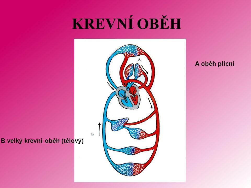 KREVNÍ OBĚH A oběh plicní B velký krevní oběh (tělový)