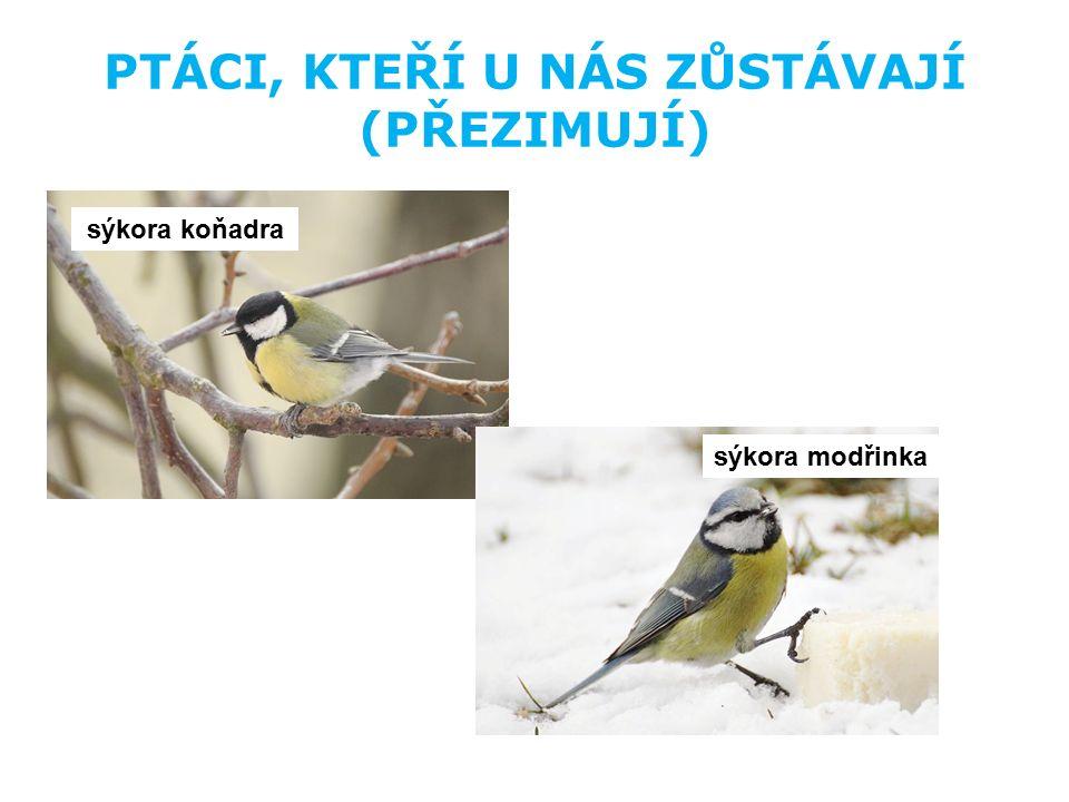 PTÁCI, KTEŘÍ U NÁS ZŮSTÁVAJÍ (PŘEZIMUJÍ) vrabec domácí zvonek zelený