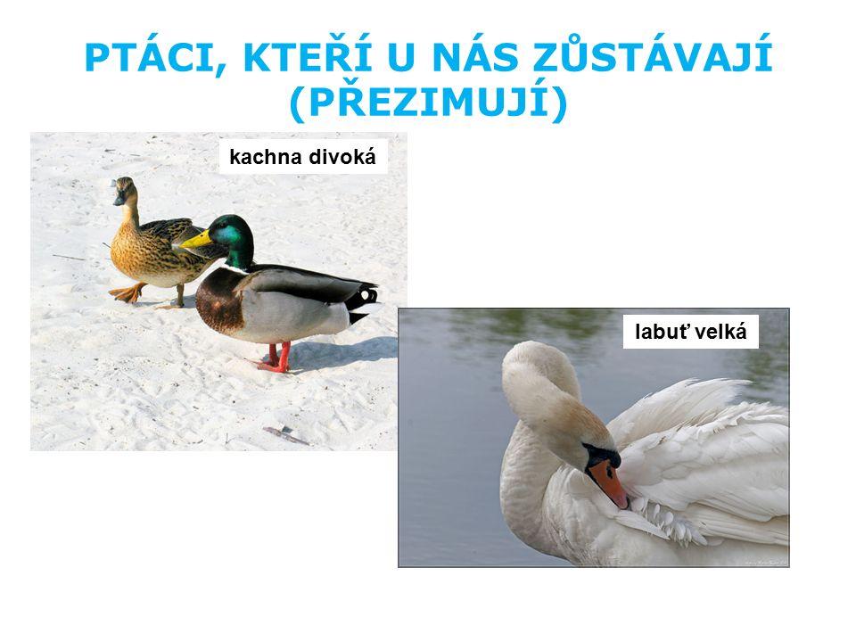 PTÁCI, KTEŘÍ U NÁS ZŮSTÁVAJÍ (PŘEZIMUJÍ) kachna divoká labuť velká