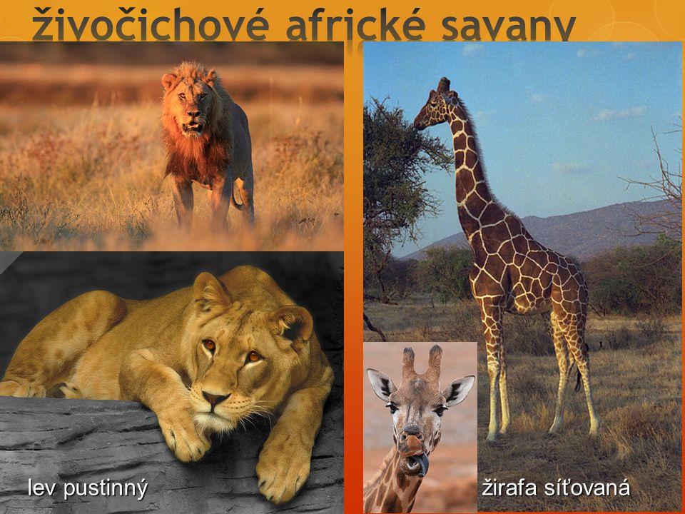 lev pustinný žirafa síťovaná