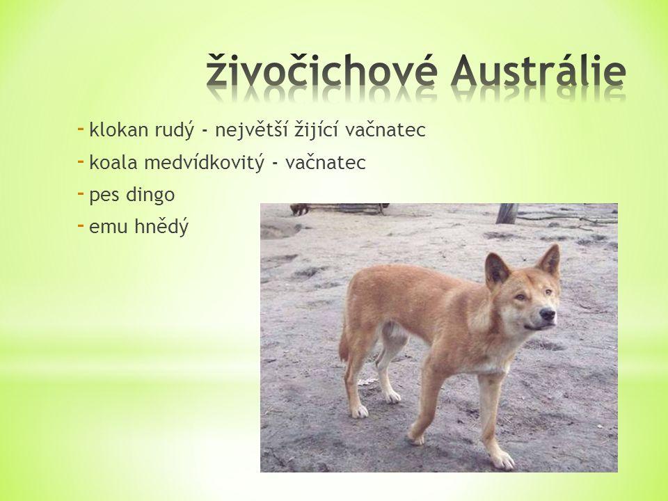 - klokan rudý - největší žijící vačnatec - koala medvídkovitý - vačnatec - pes dingo - emu hnědý
