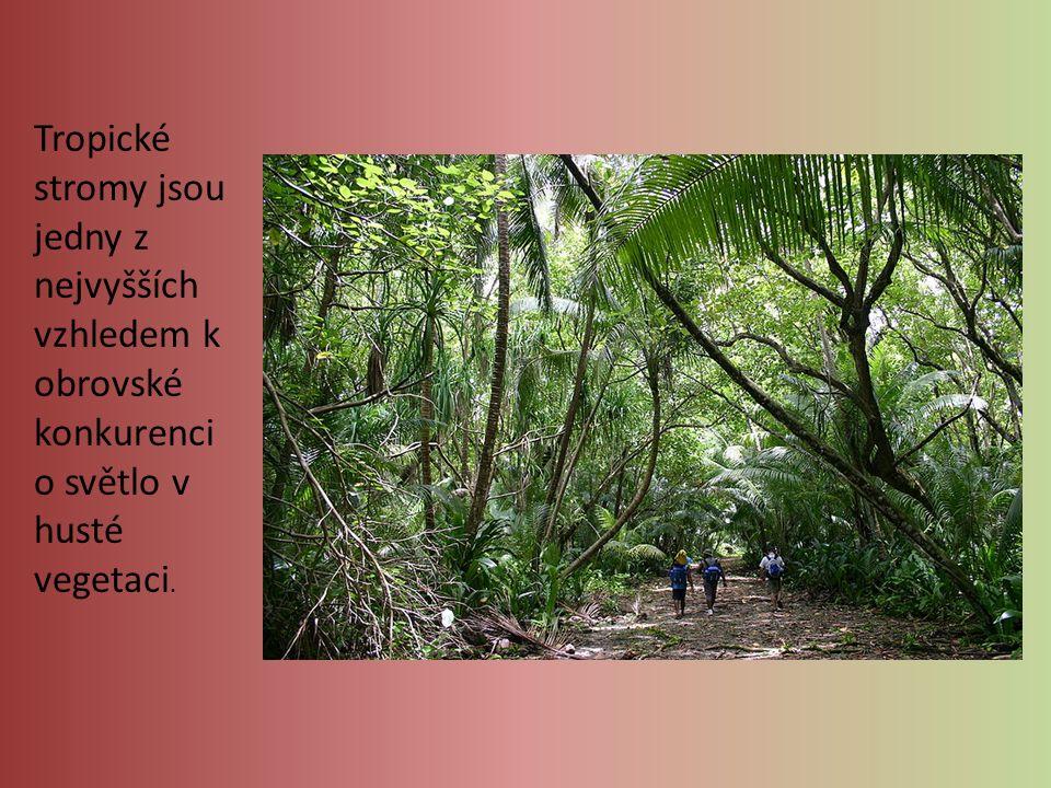 Tropické stromy jsou jedny z nejvyšších vzhledem k obrovské konkurenci o světlo v husté vegetaci.
