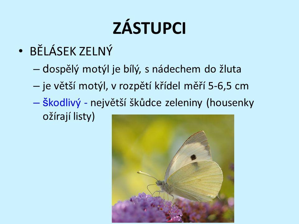 ZÁSTUPCI BĚLÁSEK ZELNÝ –d ospělý motýl je bílý, s nádechem do žluta – je větší motýl, v rozpětí křídel měří 5-6,5 cm –š kodlivý - největší škůdce zeleniny (housenky ožírají listy)