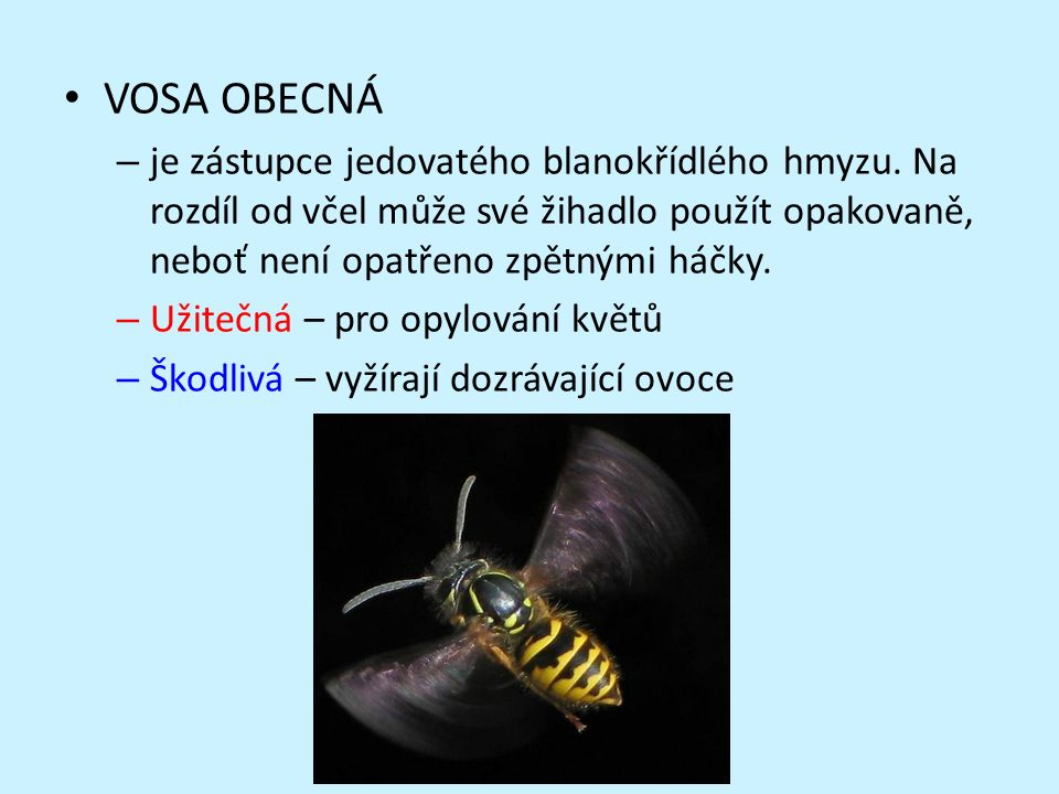 VOSA OBECNÁ – je zástupce jedovatého blanokřídlého hmyzu.
