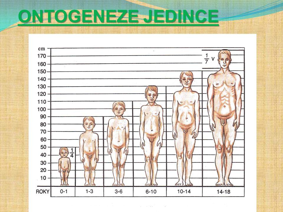 1.nitroděložní období - 280 dní a) rýhování vajíčka b) vývoj zárodku (embryonální období - do 8mi týdnů) c) vývoj plodu (plodové období) - ke konci těhotenství plod komunikuje s matkou