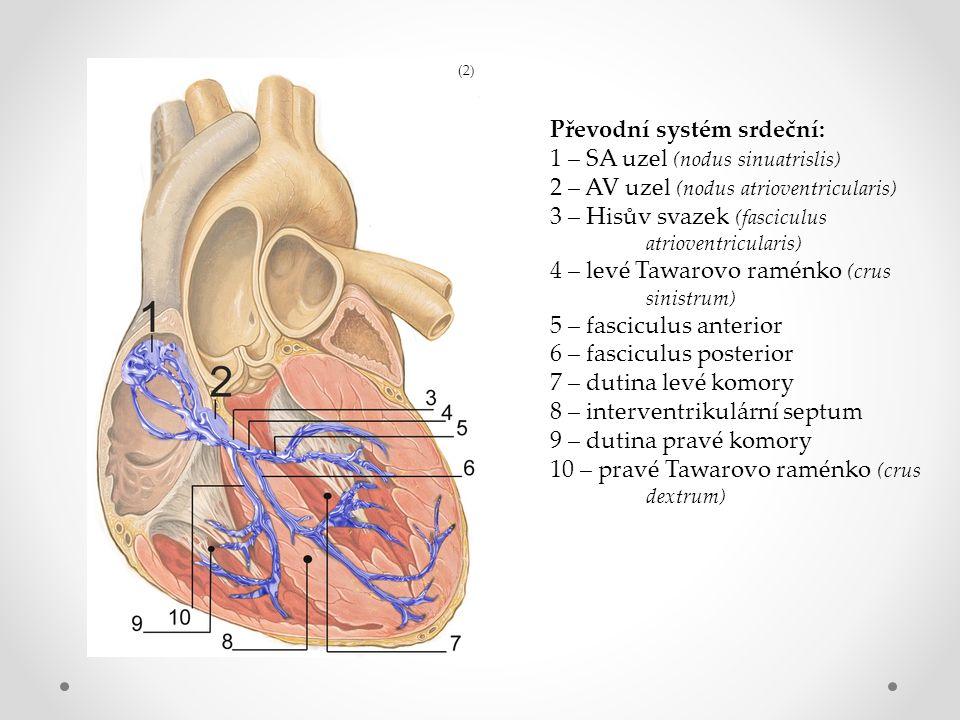 Převodní systém srdeční: 1 – SA uzel (nodus sinuatrislis) 2 – AV uzel (nodus atrioventricularis) 3 – Hisův svazek (fasciculus atrioventricularis) 4 – levé Tawarovo raménko (crus sinistrum) 5 – fasciculus anterior 6 – fasciculus posterior 7 – dutina levé komory 8 – interventrikulární septum 9 – dutina pravé komory 10 – pravé Tawarovo raménko (crus dextrum) (2)