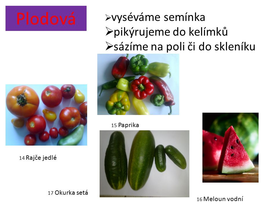 Plodová  vyséváme semínka  pikýrujeme do kelímků  sázíme na poli či do skleníku 14 Rajče jedlé 15 Paprika 17 Okurka setá 16 Meloun vodní