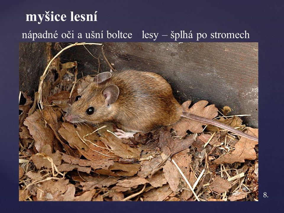 myšice lesní nápadné oči a ušní boltce lesy – šplhá po stromech 8.