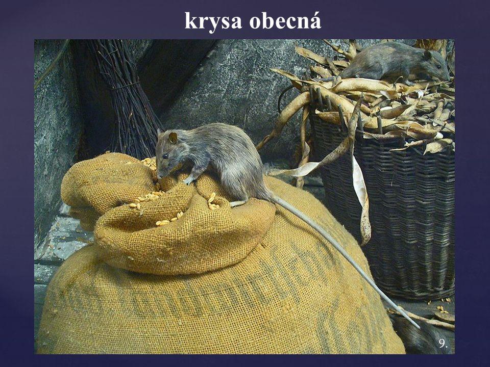 krysa obecná 9.