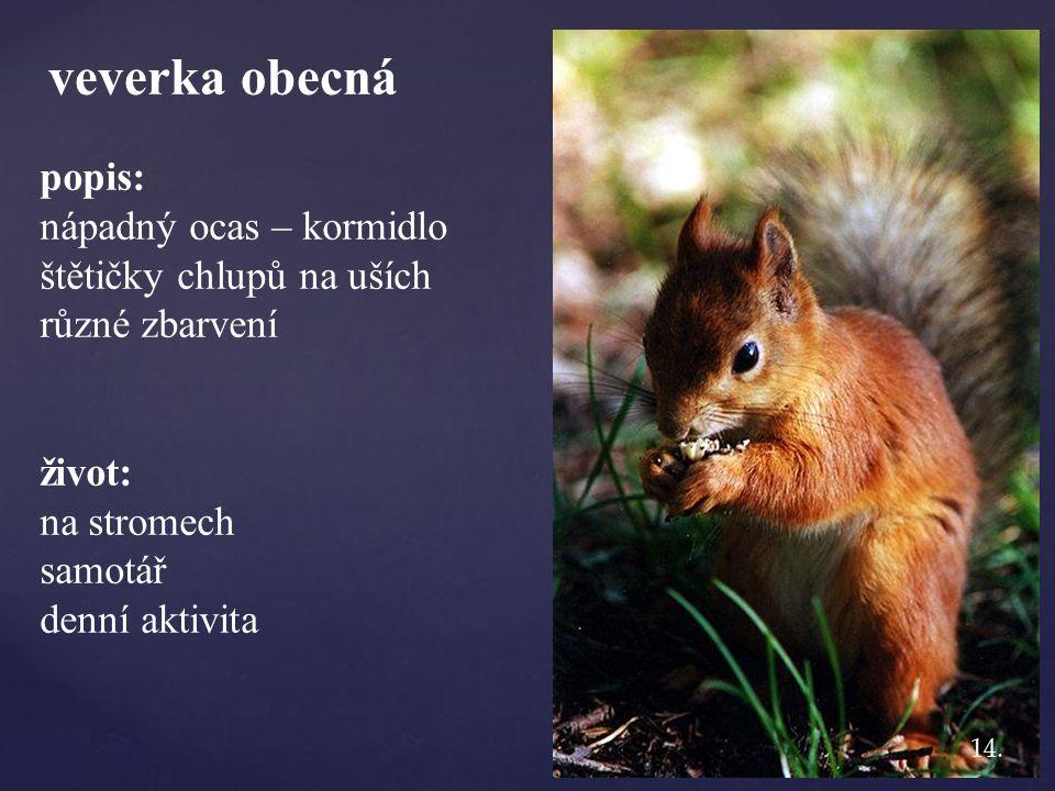 veverka obecná popis: nápadný ocas – kormidlo štětičky chlupů na uších různé zbarvení život: na stromech samotář denní aktivita 14.