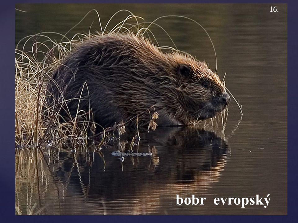 bobr evropský 16.