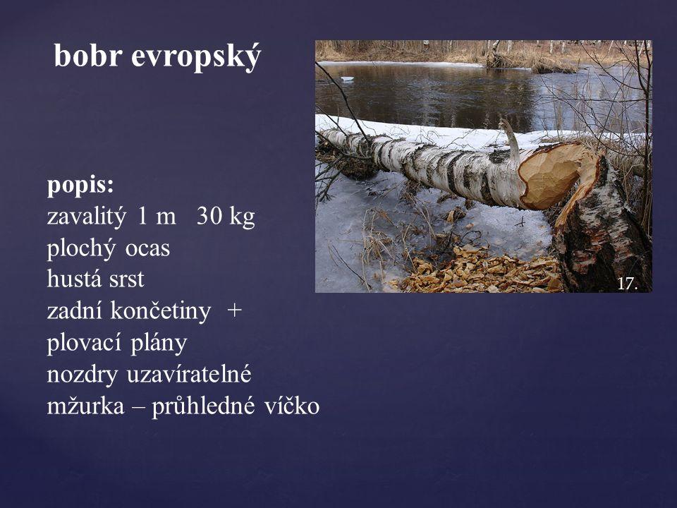 bobr evropský popis: zavalitý 1 m 30 kg plochý ocas hustá srst zadní končetiny + plovací plány nozdry uzavíratelné mžurka – průhledné víčko 17.