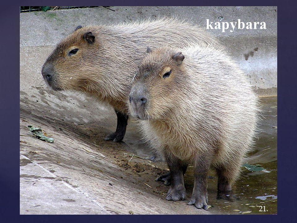 kapybara 21.