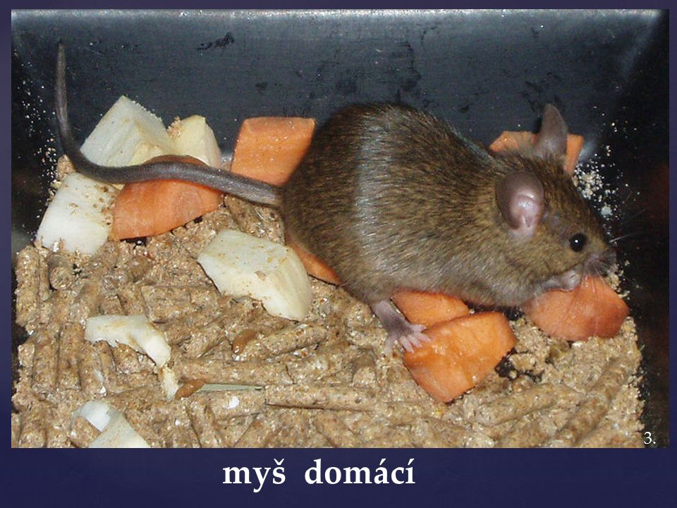 myš domácí život a rozšíření: kosmopolitní a synantropní popis: drobná s dlouhým ocasem potrava: všežravec rozmnožování: velmi rychlé až 20 mláďat – dospívají po měsíci