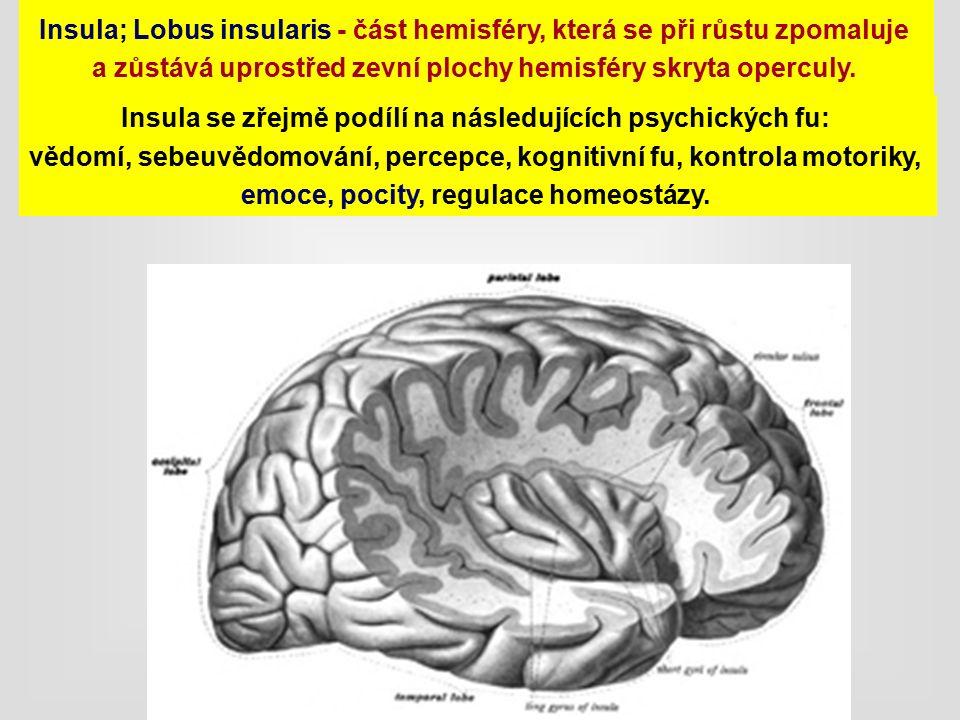 Insula; Lobus insularis - část hemisféry, která se při růstu zpomaluje a zůstává uprostřed zevní plochy hemisféry skryta operculy.
