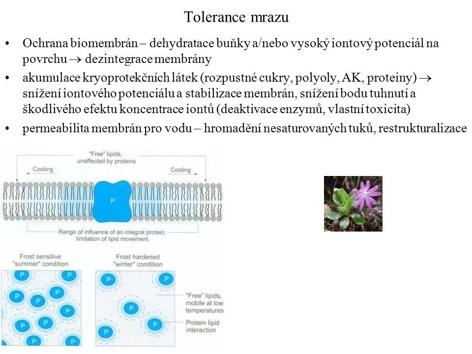 Tolerance mrazu Ochrana biomembrán – dehydratace buňky a/nebo vysoký iontový potenciál na povrchu  dezintegrace membrány akumulace kryoprotekčních látek (rozpustné cukry, polyoly, AK, proteiny)  snížení iontového potenciálu a stabilizace membrán, snížení bodu tuhnutí a škodlivého efektu koncentrace iontů (deaktivace enzymů, vlastní toxicita) permeabilita membrán pro vodu – hromadění nesaturovaných tuků, restrukturalizace