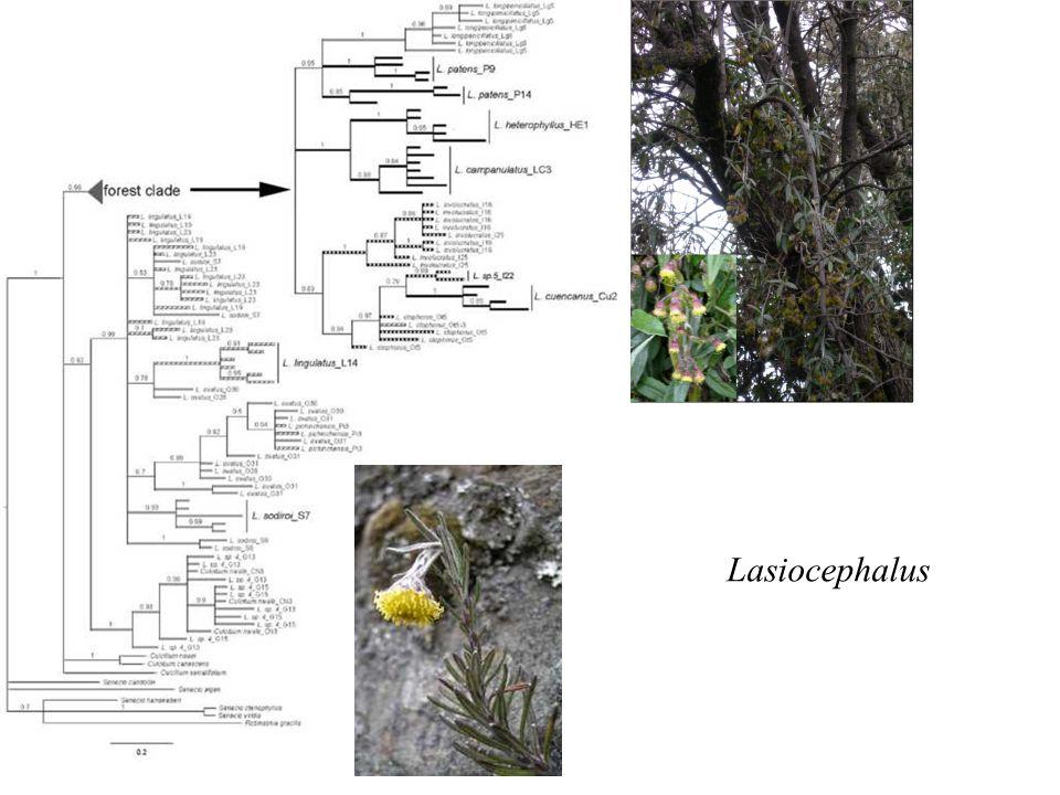Lasiocephalus