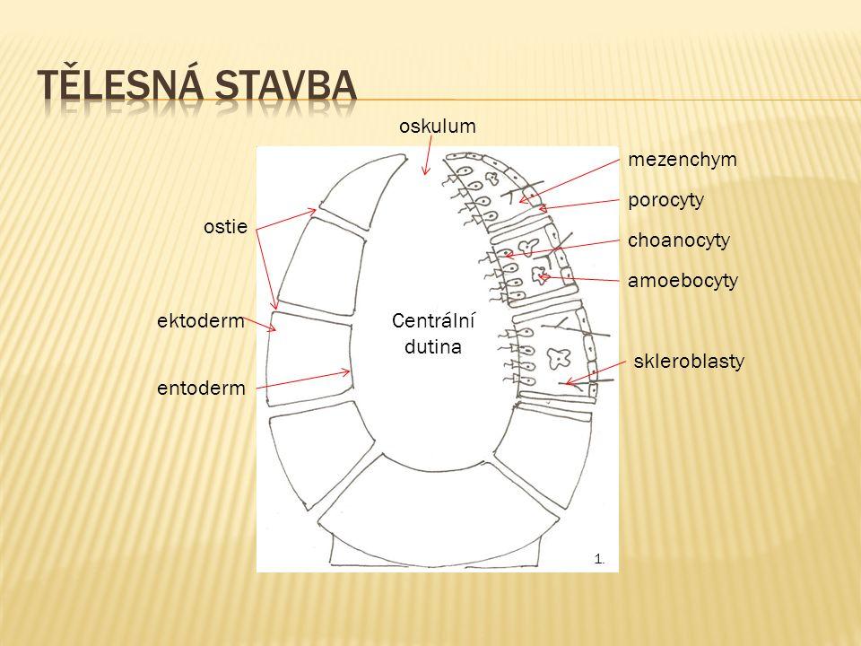 Centrální dutina oskulum ostie porocyty ektoderm entoderm choanocyty amoebocyty skleroblasty mezenchym 1.