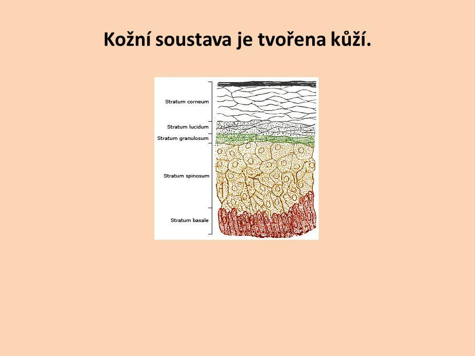 Kožní soustava je tvořena kůží.