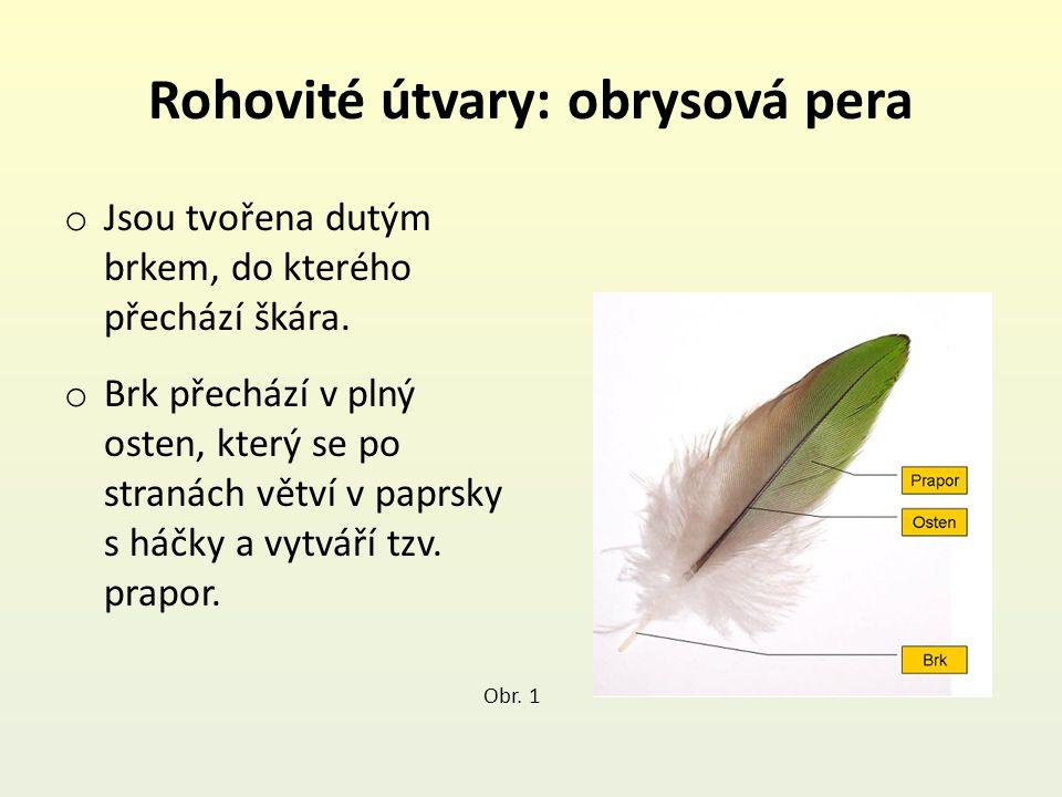 Rohovité útvary: obrysová pera o Jsou tvořena dutým brkem, do kterého přechází škára.