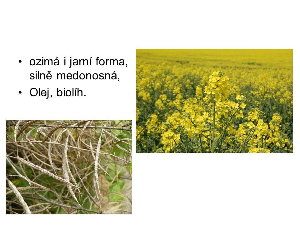 ozimá i jarní forma, silně medonosná, Olej, biolíh.