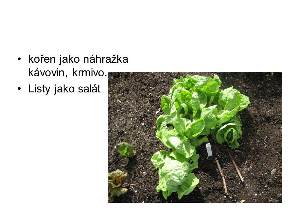 kořen jako náhražka kávovin, krmivo. Listy jako salát