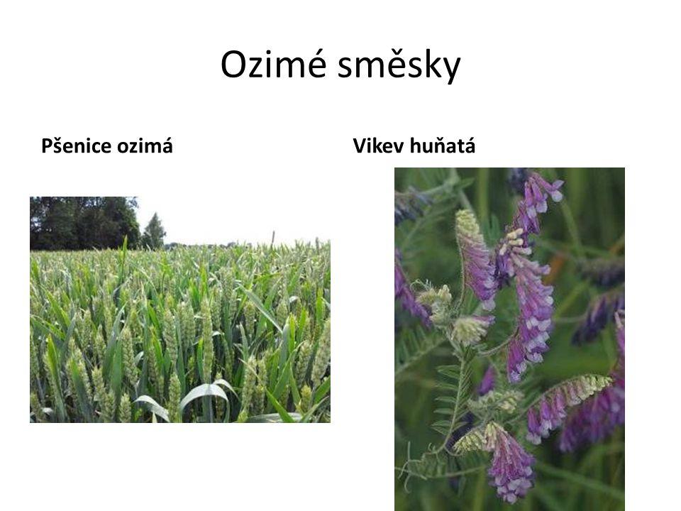 Ozimé směsky Pšenice ozimáVikev huňatá