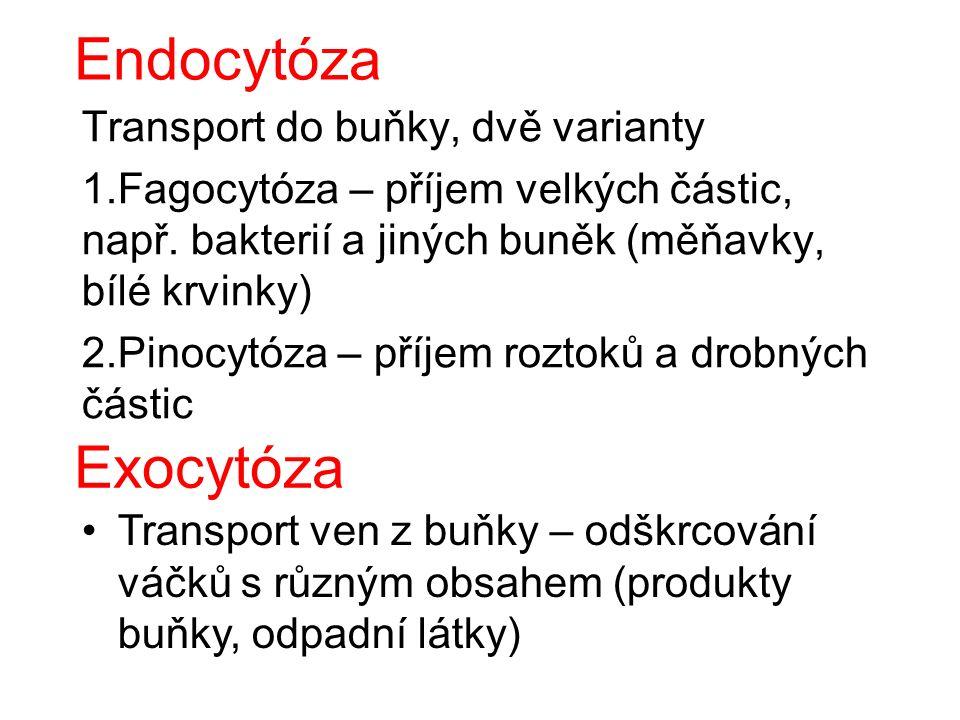 Endocytóza Transport do buňky, dvě varianty 1.Fagocytóza – příjem velkých částic, např.