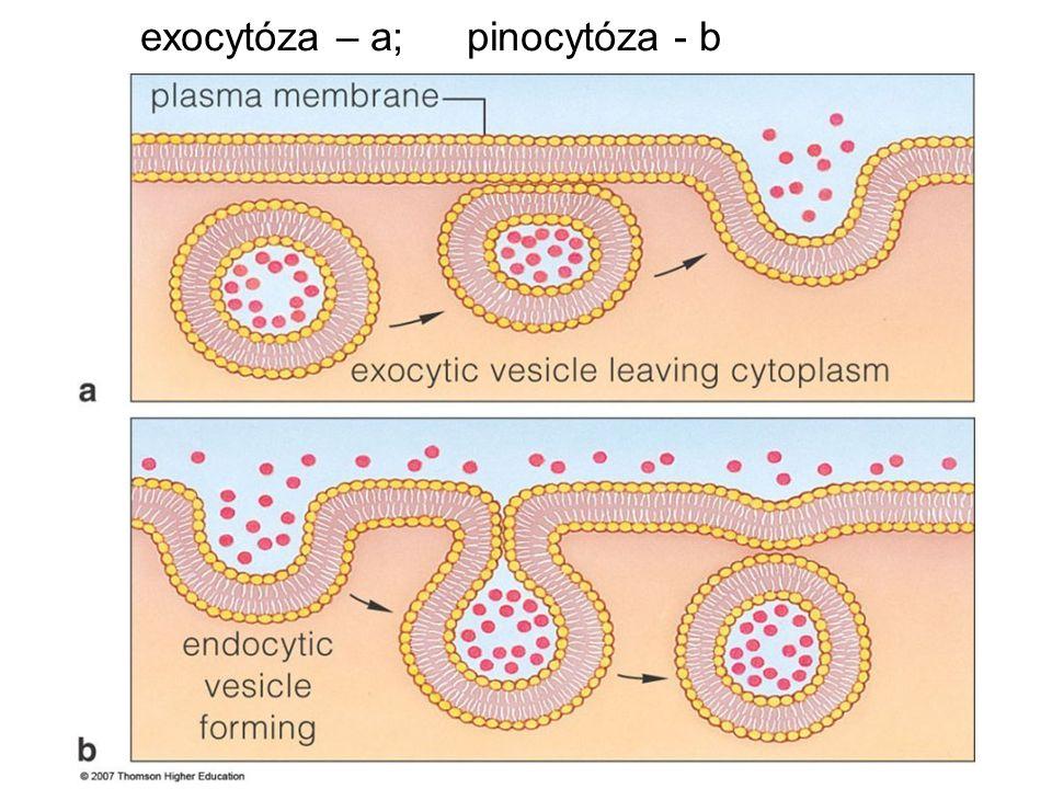 exocytóza – a; pinocytóza - b