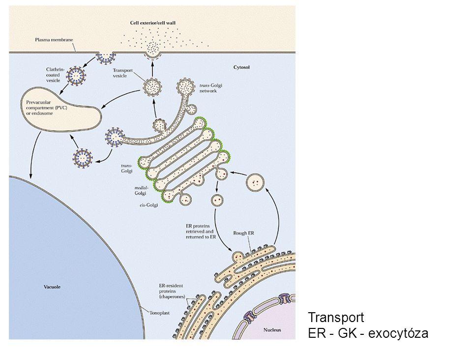 Transport ER - GK - exocytóza