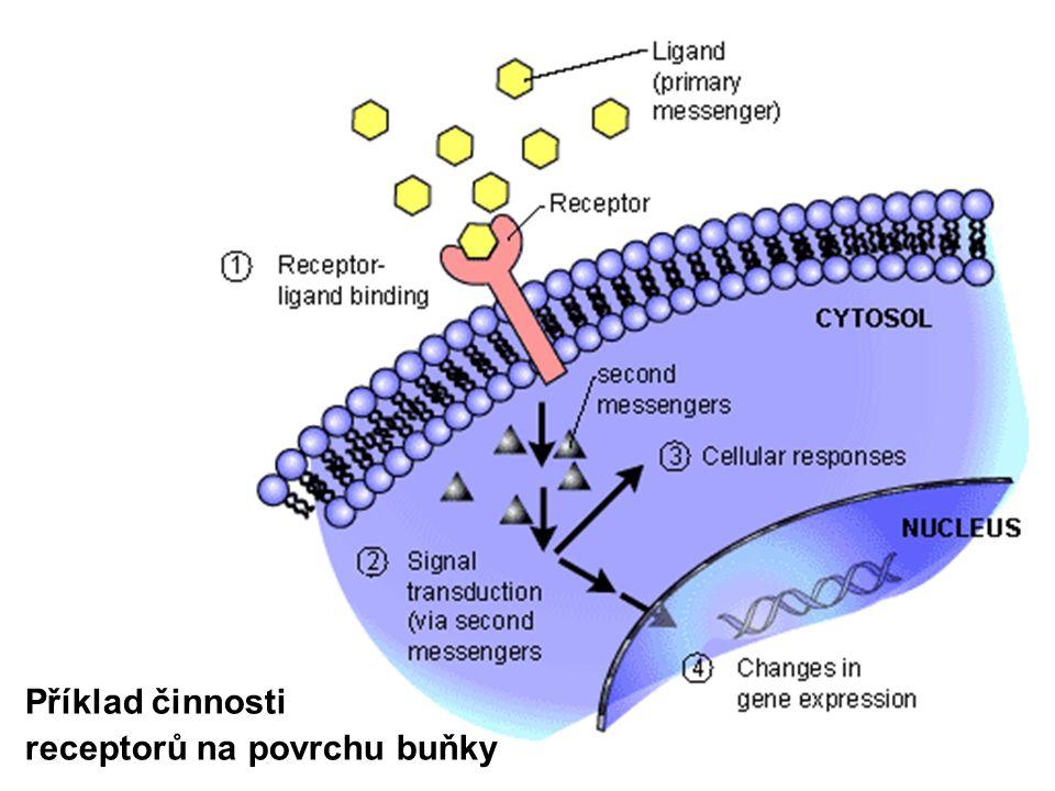 Příklad činnosti receptorů na povrchu buňky