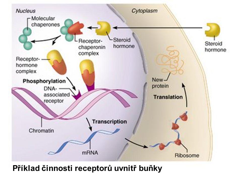 Příklad činnosti receptorů uvnitř buňky