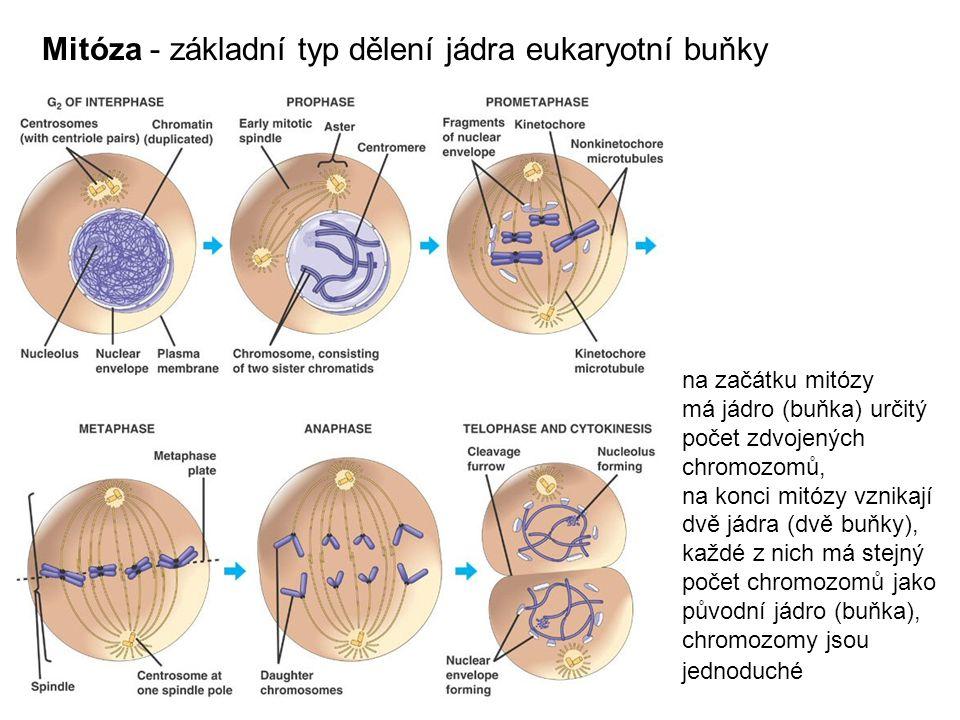 Mitóza - základní typ dělení jádra eukaryotní buňky na začátku mitózy má jádro (buňka) určitý počet zdvojených chromozomů, na konci mitózy vznikají dvě jádra (dvě buňky), každé z nich má stejný počet chromozomů jako původní jádro (buňka), chromozomy jsou jednoduché