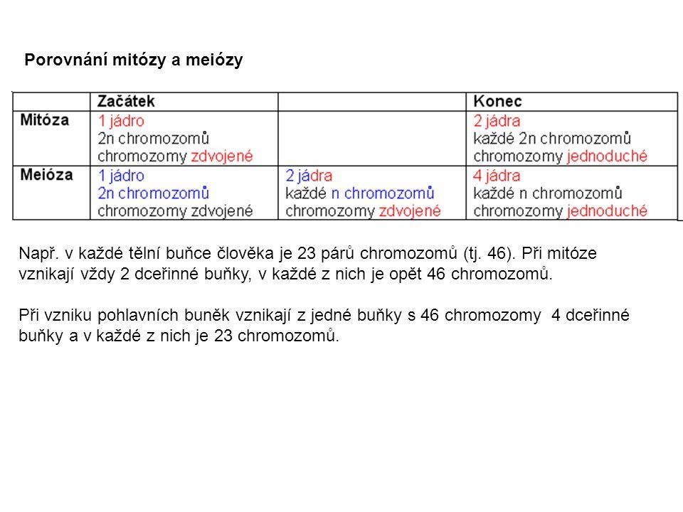 Porovnání mitózy a meiózy Např. v každé tělní buňce člověka je 23 párů chromozomů (tj.
